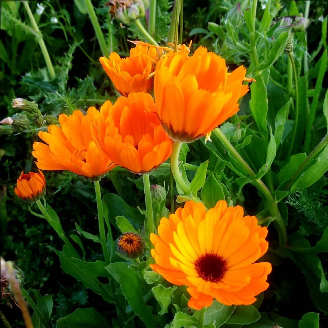 Graines de Calendula officinalis variés à fleurs multicolores