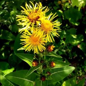 Aunée //Grande à fleur jaunes (Plant)