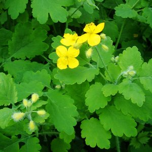 Chélidoine // A fleurs jaunes (Graines)