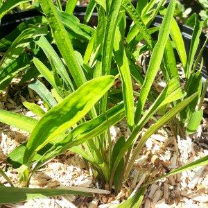 Buplèvre // de Chine 'Chai Hu' (Plant)