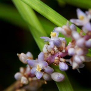 Liriope // en épis 'Shan Mai Dong' (Plant)