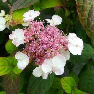 Hydrangea // Thé sucré japonais 'O Amacha' (Plant)