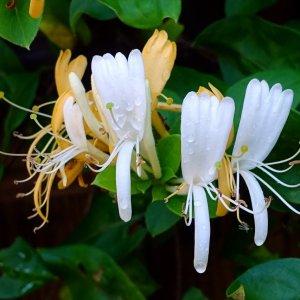 Chèvrefeuille // de Chine 'Jin Yin hua' (Plant)