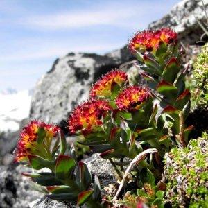 Rhodiola // Rose des Alpes 'Hong Jing Tian' (Plant)