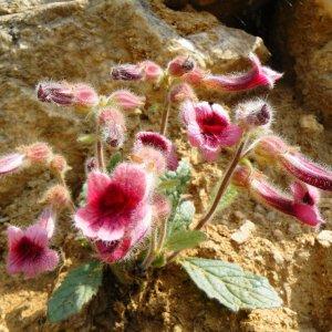 Rhemannia // Glutineux 'Di Huang' (Plant)