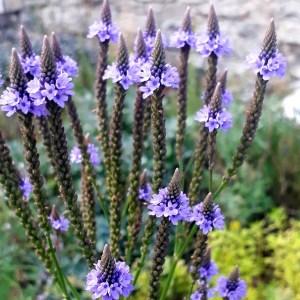 Verveine // Hastée géante (Plant)