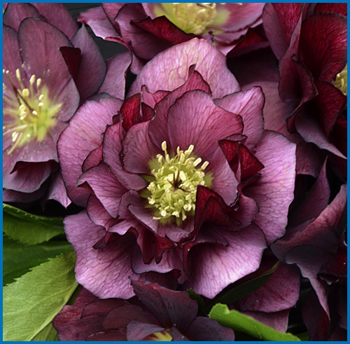 Helleborus True Love