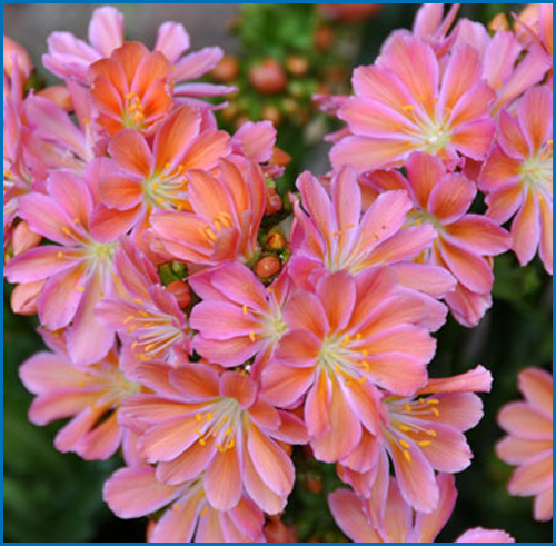 Lewisia Sunset Group