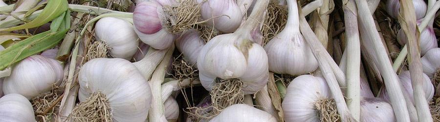 La culture de l'ail comestible - Allium sativum