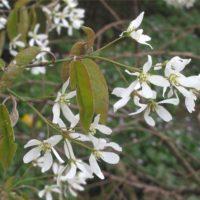 Amelanchier (Amélanchier) - arbustes