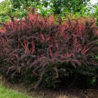 Berberis Rose Glow - arbustes