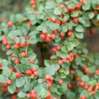 Cotoneaster - arbustes
