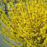 Forsythia - arbustes