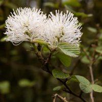 Fothergilla - arbustes
