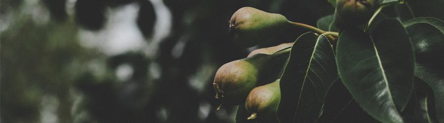 Plantation des arbres fruitiers