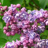 Syringa (Lilas) - arbustes