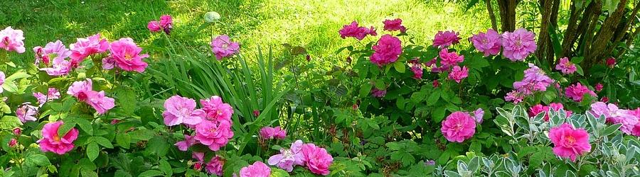 Le rosier rustique