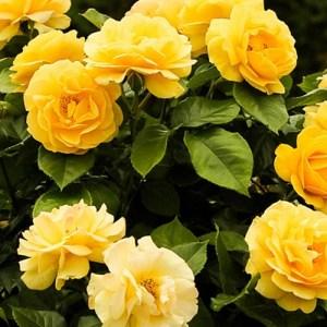 Rosier floribunda Julia Child