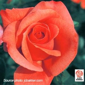 Rosier floribunda Marmalade Skies
