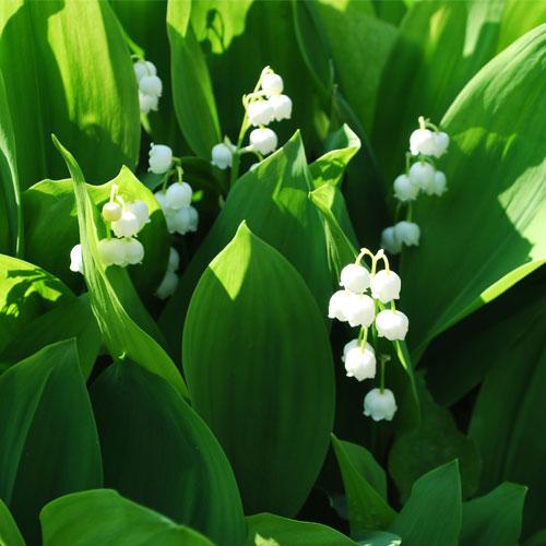 Convallaria majalis (Muguet) - vivaces