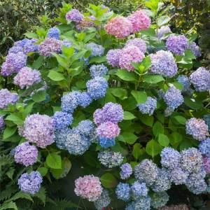 Hydrangée marcophylla 'Endless Summer' - arbustes