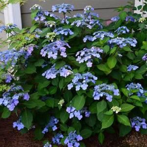 Hydrangée macrophylla 'Twist-n-shout' - arbustes