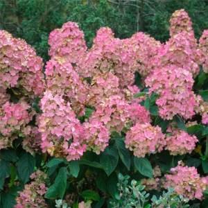Hydrangée paniculée 'Pink Diamond' - arbustes