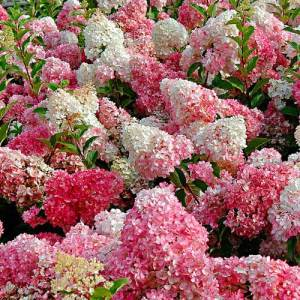 Hydrangée paniculée 'Vanille-fraise' - arbustes
