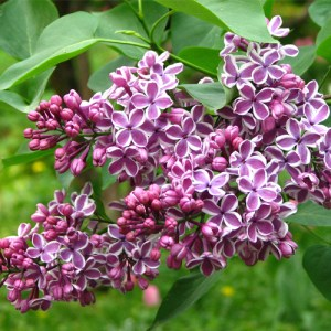 Lilas Vulgaris 'Sensation'