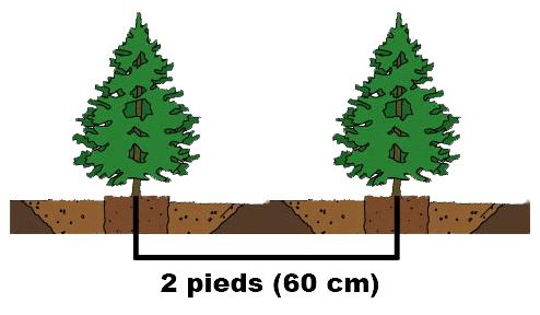 Distance de plantation de cèdres cultivés