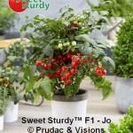 Tomates cerises Sturdy Jo