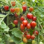 Tomates cerises Fantastico