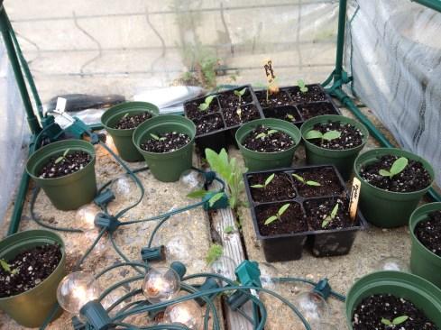Warm season veggies: tomatoes, cantalope, eggplant