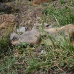 Meerkats at the Zoo - Pictures of a Meerkat Family #1