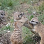 Meerkats at the Zoo - Pictures of a Meerkat Family #3