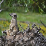 Meerkats at the Zoo - Pictures of a Meerkat Family #6