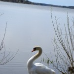 The Swan #3