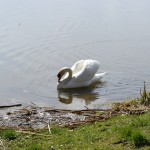 The Swan #5