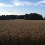 Wheat Field – Swedish Countryside