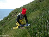 Setting up for measuring Pringlea antiscorbutica phenology at the coast. © Kate Kiefer