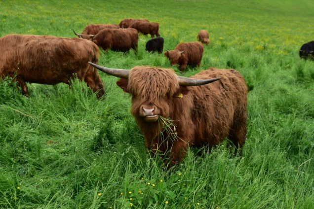 Logarska dolina - škotsko govedo