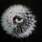 dandelion-1329776_960_720
