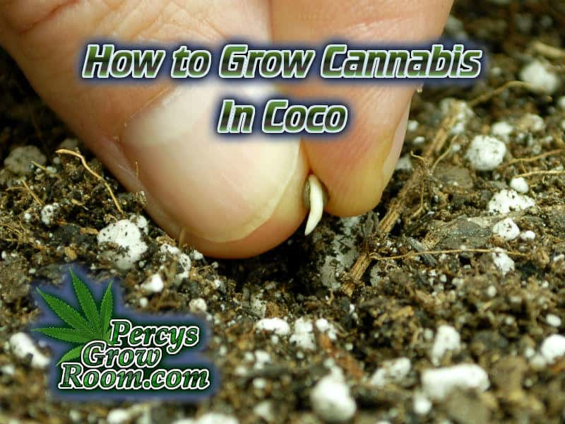 How to Grow Cannabis in Coco - Percys Grow Room