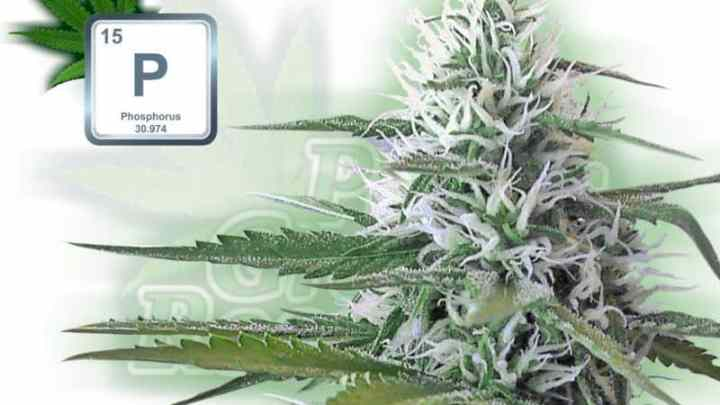 A percys grow room sign, with cannabis plant flowers, and P chemical symbolHow to grow legal cannabis, a step by step guide to growing weed, cannabis growing guide, tips for marijuana growers, growing cannabis plants for the first time, marijuana growers forum, marijuana growing tips, cannabis plant problems, cannabis plant help, marijuana growing expert advice.