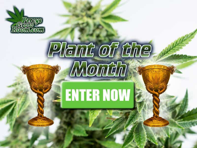 Plant of the month, cannabis competitions, win free cannabis seeds, Cannabis Growers Forum, Cannabis Grow Diaries, Cannabis plant infirmary, Learn to grow Cannabis, Cannabis Plant Problems, Cannabis Growing Forum, Marijuana Growers Forum, Weed Growers Forum, How to grow Cannabis, Cannabis Grow Guides, Guides for growing Cannabis