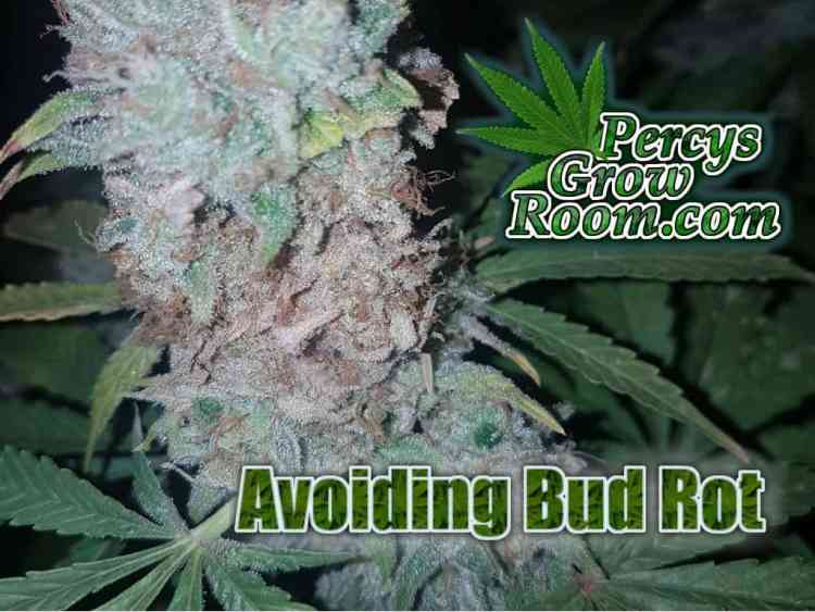 Bud Rot, What does Bud Rot look like, a cannabis plant with bud rot, mouldy cannabis plant, buds rotting,, buds turning grey, do i have bud rot, how to prevent bud rot,Cannabis growers forum & community, How to grow cannabis, how to grow weed, a step by step guide to growing weed, cannabis growers forum, need help with sick plant, what's wrong with my cannabis plant, percys Grow Room, the Grow Room, percys Grow Guides, we'd growing forum, weed growers community, how to grow weed in coco, when is my cannabis plant ready for harvest, how to feed my cannabis plant, beginners guide to growing weed, how to grow weed for personal use, cannabis plant deficiency, how to germinate cannabis seeds, where to buy cannabis seeds, best weed growers website