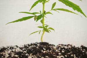 cannabis cutting in coco, Cannabis growers forum & community, How to grow cannabis, how to grow weed, a step by step guide to growing weed, cannabis growers forum, need help with sick plant, what's wrong with my cannabis plant, percy's Grow Room, the Grow Room, Cannabis Grow Guides, weed growing forum, weed growers community, how to grow weed in coco, when is my cannabis plant ready for harvest, how to feed my cannabis plant, beginners guide to growing weed, how to grow weed for personal use, cannabis plant deficiency, how to germinate cannabis seeds, where to buy cannabis seeds, best weed growers website, Learn to grow cannabis, is it easy to grow weed,