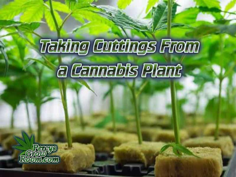 How to take a cutting from a cannabis plant, Cannabis growers forum & community, How to grow cannabis, how to grow weed, a step by step guide to growing weed, cannabis growers forum, need help with sick plant, what's wrong with my cannabis plant, percy's Grow Room, the Grow Room, Cannabis Grow Guides, weed growing forum, weed growers community, how to grow weed in coco, when is my cannabis plant ready for harvest, how to feed my cannabis plant, beginners guide to growing weed, how to grow weed for personal use, cannabis plant deficiency, how to germinate cannabis seeds, where to buy cannabis seeds, best weed growers website, Learn to grow cannabis, is it easy to grow weed,, Cannabis Growers forum, weed growers forum, How to grow legal cannabis, a step by step guide to growing weed, cannabis growing guide, tips for marijuana growers, growing cannabis plants for the first time, marijuana growers forum, marijuana growing tips, cannabis plant problems, cannabis plant help, marijuana growing expert advice