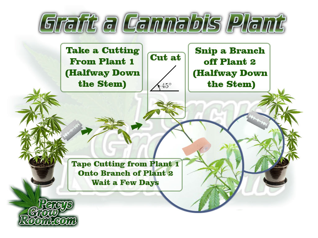Cannabis Plant Grafting