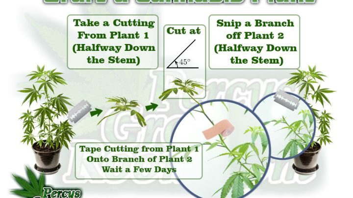 grafting a cannabis plant, how to graft a cannabis plant, Cannabis growers forum & community, How to grow cannabis, how to grow weed, a step by step guide to growing weed, cannabis growers forum, need help with sick plant, what's wrong with my cannabis plant, percys Grow Room, the Grow Room, percys Grow Guides, we'd growing forum, weed growers community, how to grow weed in coco, when is my cannabis plant ready for harvest, how to feed my cannabis plant, beginners guide to growing weed, how to grow weed for personal use, cannabis plant deficiency, how to germinate cannabis seeds, where to buy cannabis seeds, best weed growers website, Cannabis Growers forum, weed growers forum, How to grow legal cannabis, a step by step guide to growing weed, cannabis growing guide, tips for marijuana growers, growing cannabis plants for the first time, marijuana growers forum, marijuana growing tips, cannabis plant problems, cannabis plant help, marijuana growing expert advice